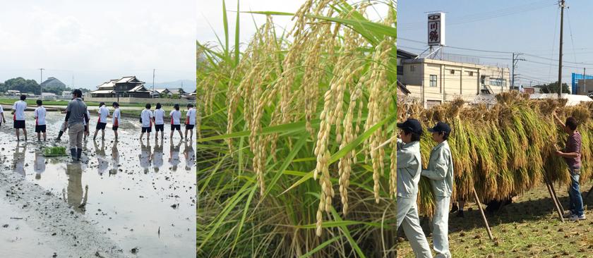 米作り、田植え、稲刈り